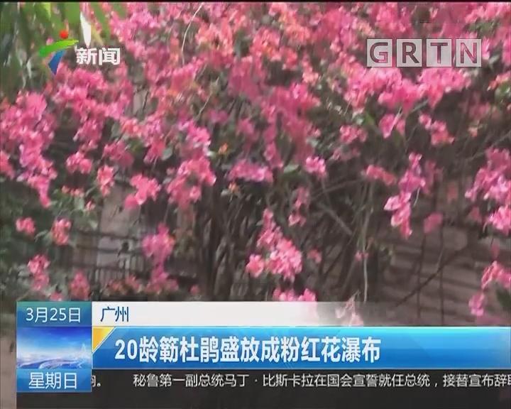广州:20龄簕杜鹃盛放成粉红花瀑布