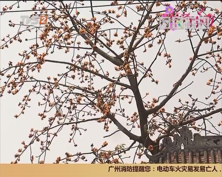 花开岭南:广州番禺 奇特木棉 竟然开出金黄色的花