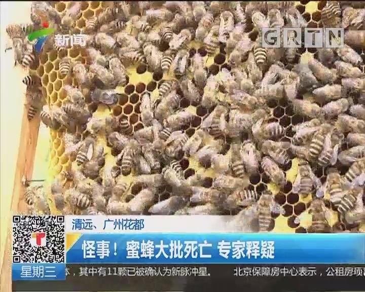 清远、广州花都:怪事! 蜜蜂大批死亡 专家释疑
