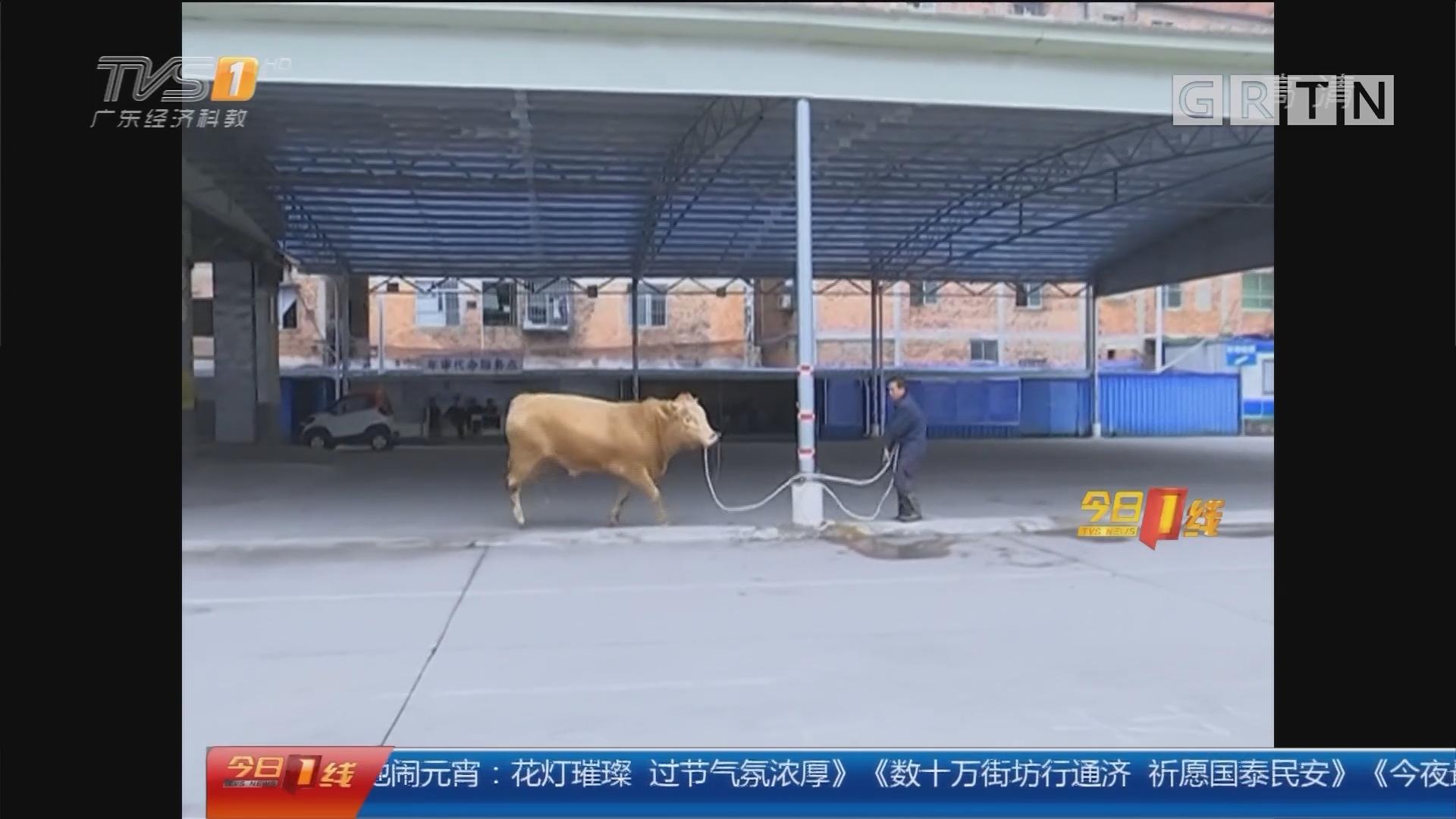 广西南宁:闹市狂奔的大黄牛 被联手制服