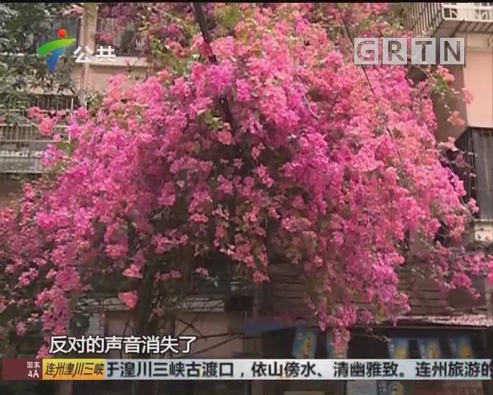 广州:民宅外墙一簕杜鹃直攀九楼