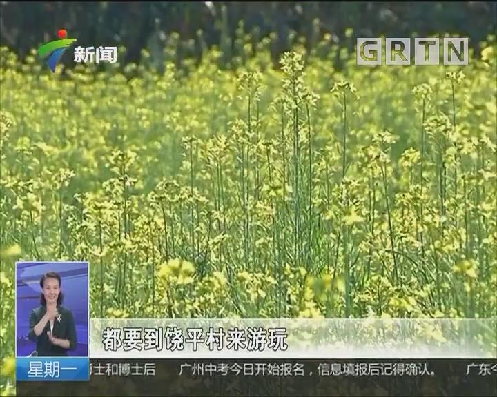 揭阳:饶平村油菜花开春意浓
