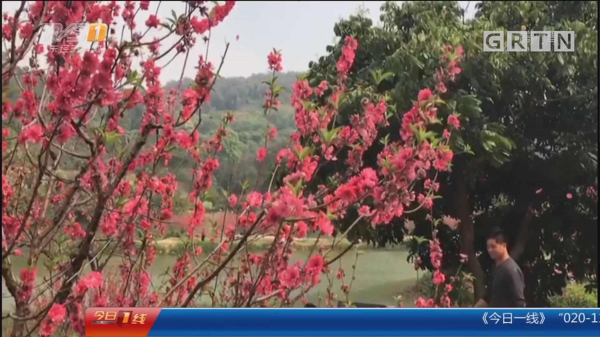 佛山:桃园花似锦 游客凹造型桃树遭殃