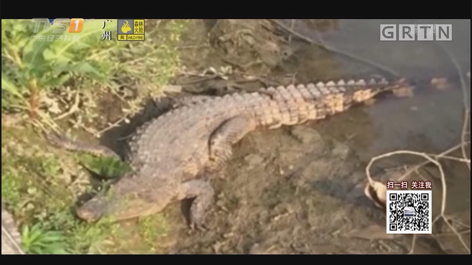 河涌传怪声 竟是一米多长鳄鱼出逃
