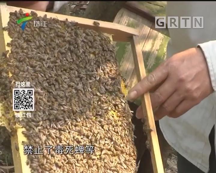 花都:蜜蜂离奇死亡 疑是农药中毒