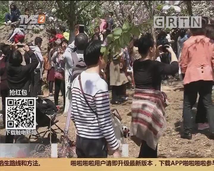 广州:华农赏花热 周末涌进了20万人