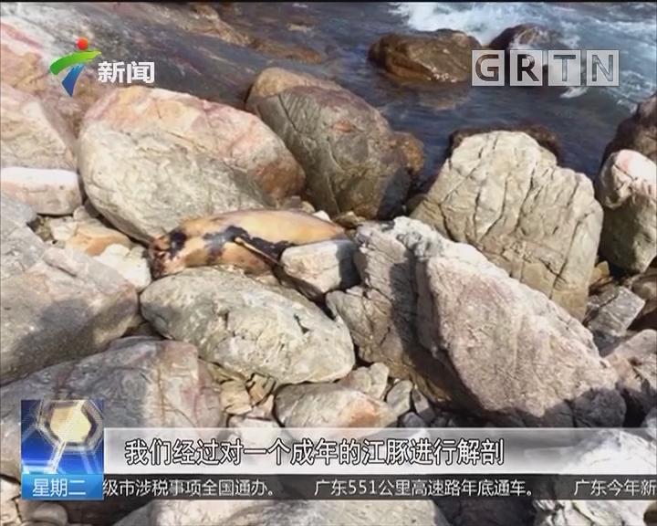 深圳接连三只江豚死亡 背部疑留致命伤痕