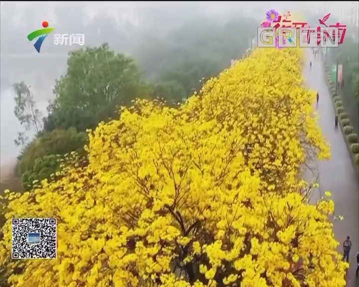 """花开岭南 广东""""最贵""""的路:""""黄金""""落满地"""