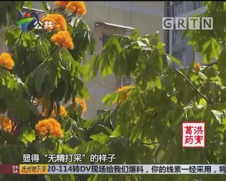 """广州:无忧树现""""相隔开花""""奇景"""