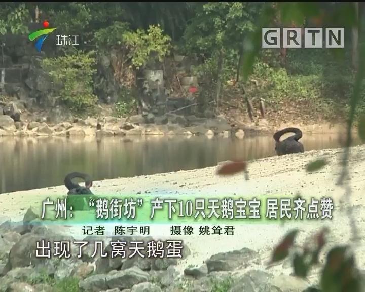 """广州:""""鹅街坊""""产下10只天鹅宝宝 居民齐点赞"""
