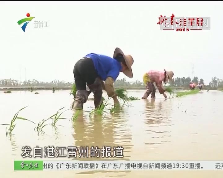 湛江雷州:春耕时节 关注记者体验插秧