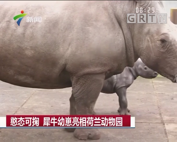 憨态可掬 犀牛幼崽亮相荷兰动物园
