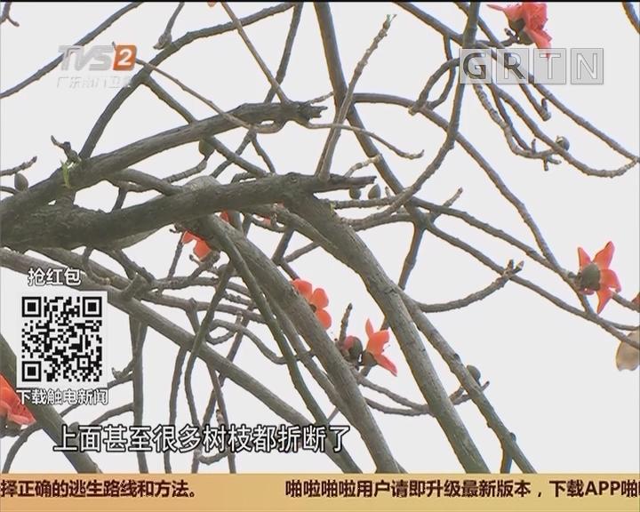 """广州:木棉惨遭""""摧花"""" 花落枝折市民心疼"""