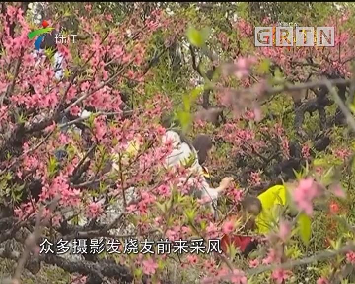 三月春至送香来 看尽岭南盛世花