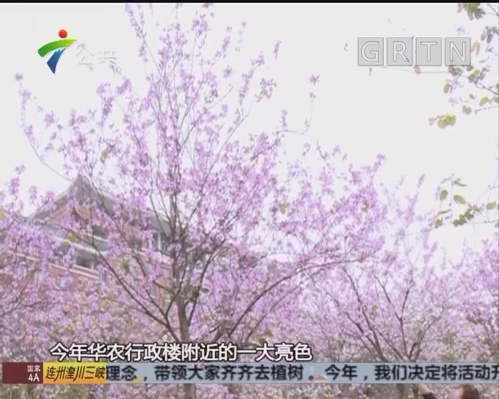 三月华农花海一片 黄花风铃木成亮点