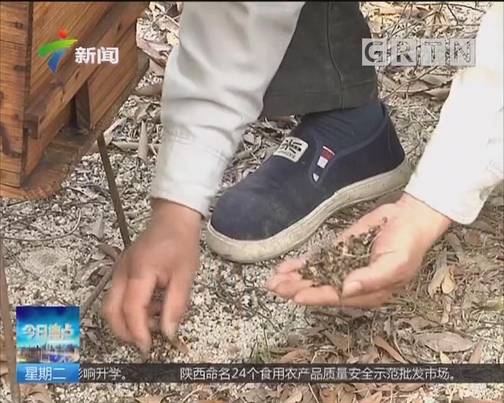 广州花都:蜜蜂离奇死亡 农业专家迅速查看病情