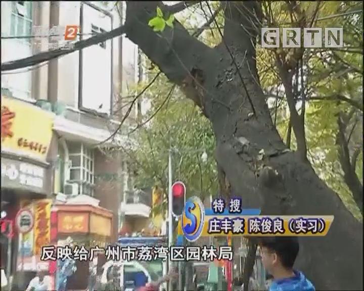60年大榕树 倾斜阻交通