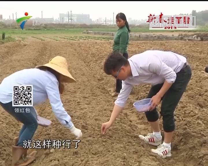 新春记者走基层 湛江春耕种花生