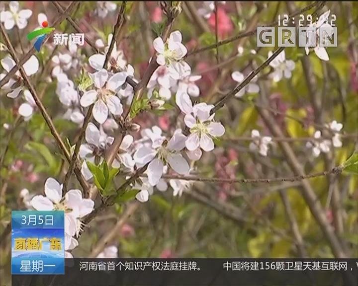 揭阳:湿地公园桃花灼灼绽放