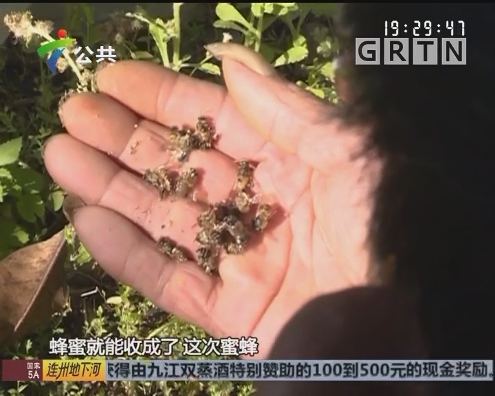 清远:蜜蜂相继大量死去 蜂农急寻缘由