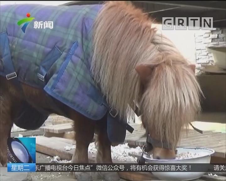 北京:小区里遛马 68万小矮马走失