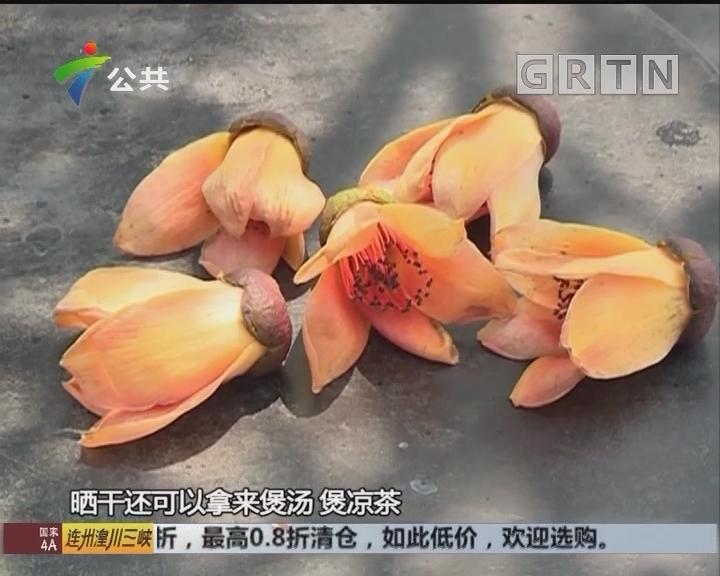 广州:棉树不开红花开黄花 市民称稀奇