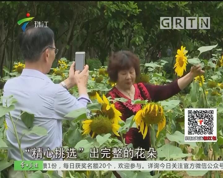 """深圳:赏花变""""伤花"""" 向日葵花海好受伤"""