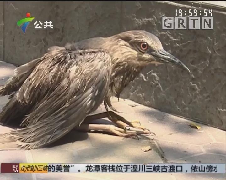 佛山:环卫工一个月内 救起两只受伤夜鹭