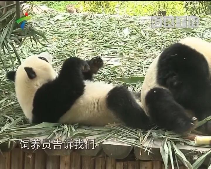 广州:熊猫双胞胎成功断母乳