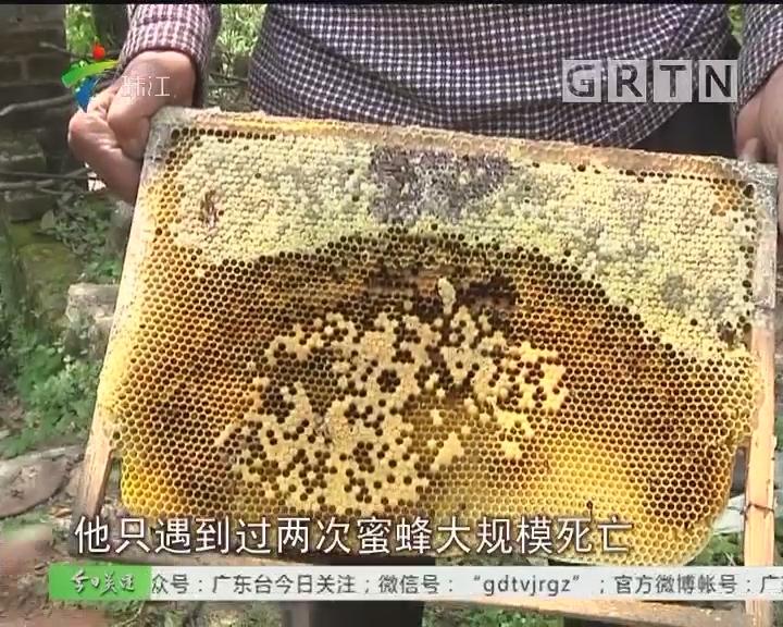 清远、花都蜜蜂大批死亡 专家释疑