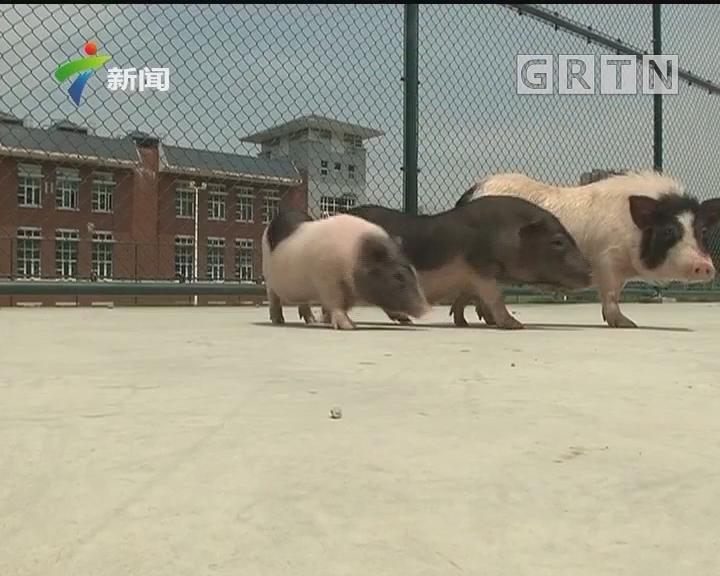"""[2018-04-21]权威访谈:""""亨廷顿猪""""诞生记"""