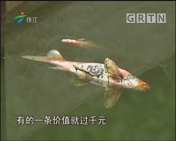 佛山:全塘锦鲤死光 意外还是投毒?