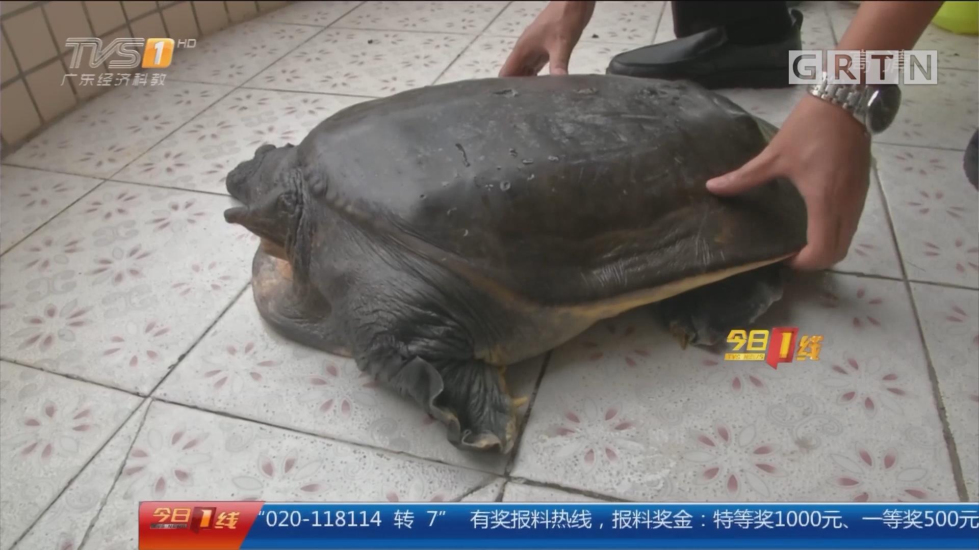 广州:河滩边现巨型大鳖 重达46斤