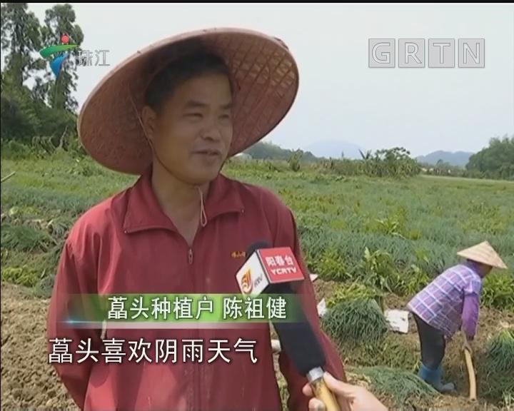 阳春:两百多万斤蕌头滞销 愁煞农民