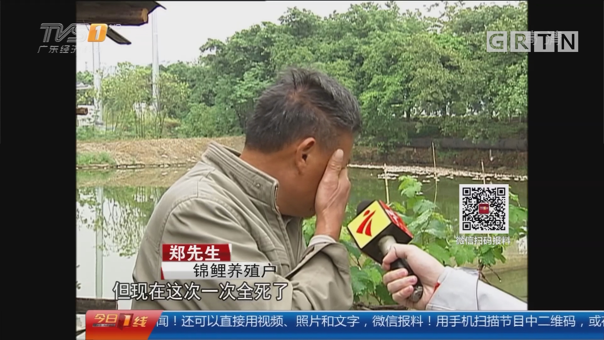 佛山南海:一塘锦鲤死亡 十年心血付诸东流