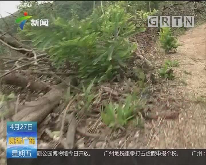 深圳羊台山违法砍伐:约25亩原生植被砍 多部门介入调查