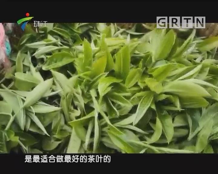 [2018-04-09]摇钱树:茶山归来话红茶