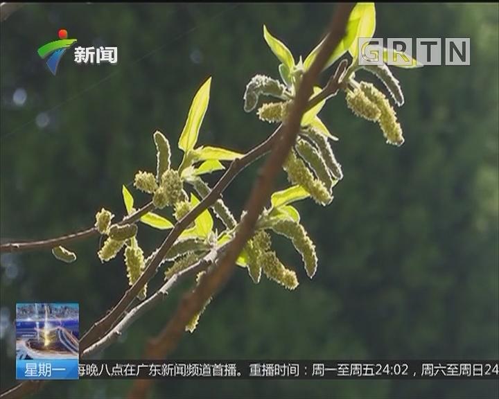 """江苏:大树""""吐烟圈"""" 原来是构树在授粉"""