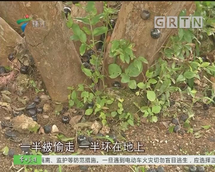 佛山:为偷果园避开7个摄像头 盗贼终落网