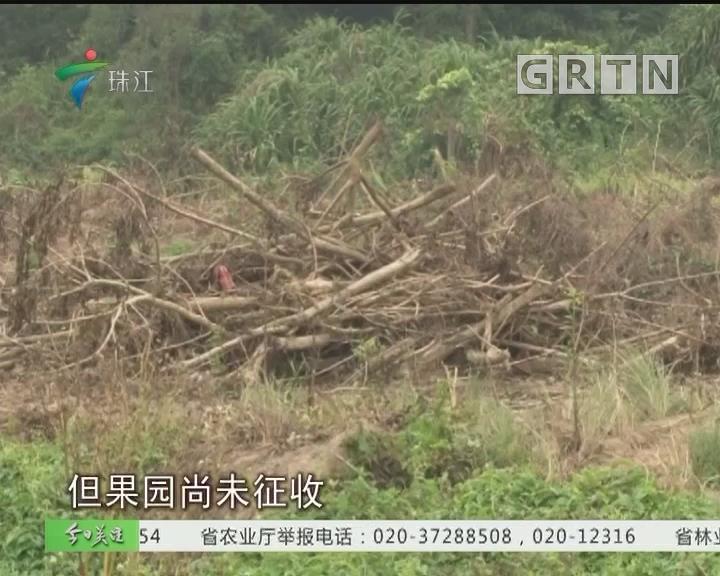 阳江:几十亩果园被毁 为何?