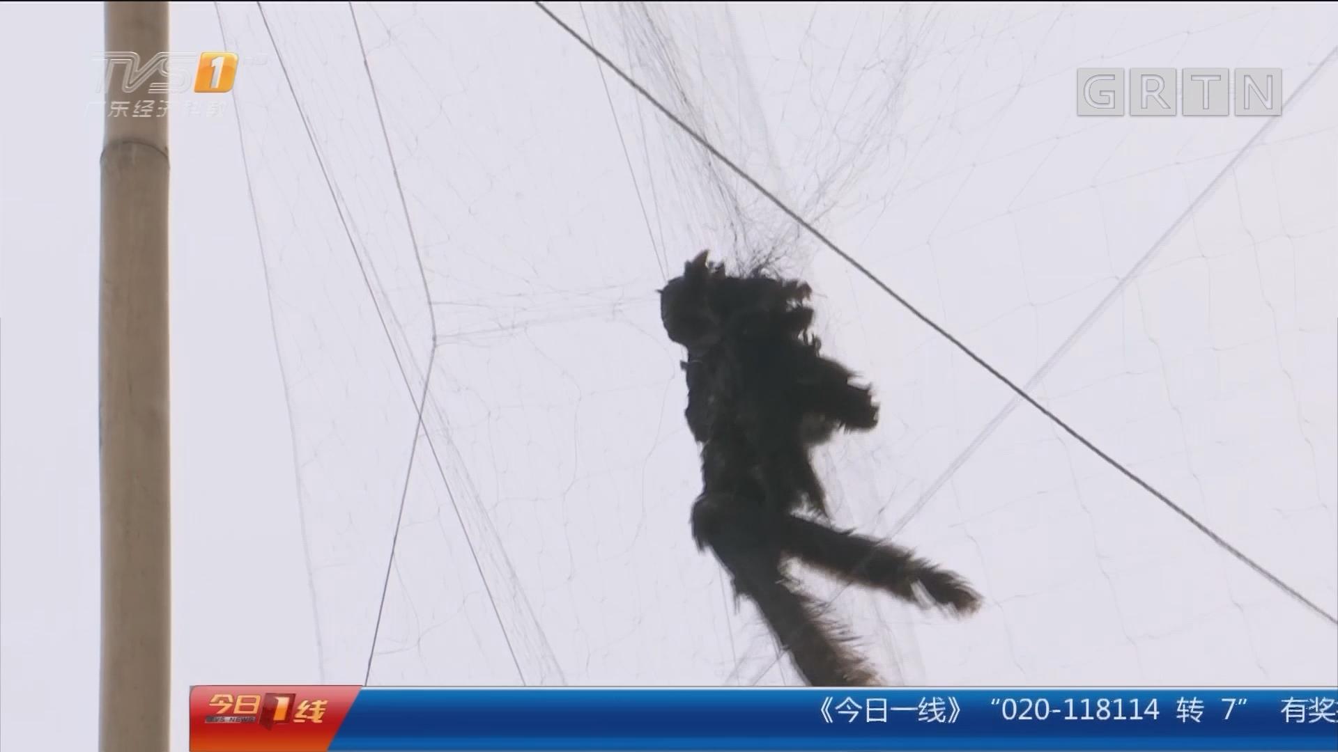 汕头:山上惊现巨型连环网 非法捕鸟