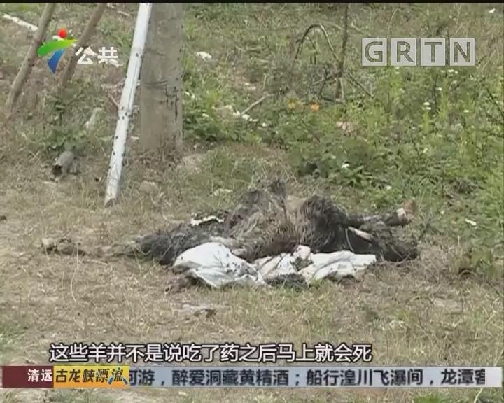 村民报料:羊只突然死亡 怀疑有人下毒