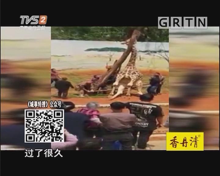 蹭痒头卡树杈 长颈鹿抢救无效死亡