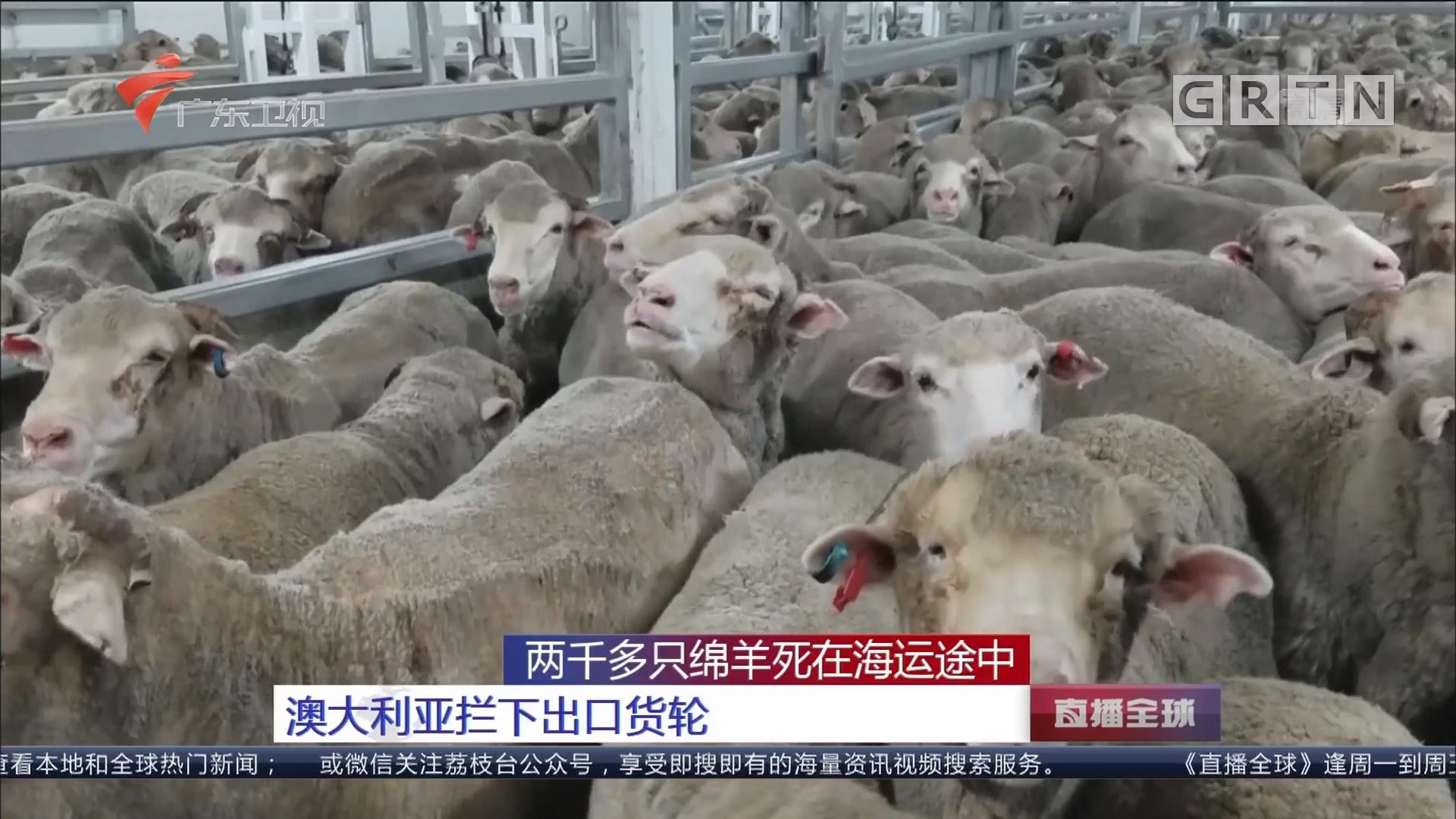 两千多只绵羊死在海运途中:澳大利亚拦下出口货轮