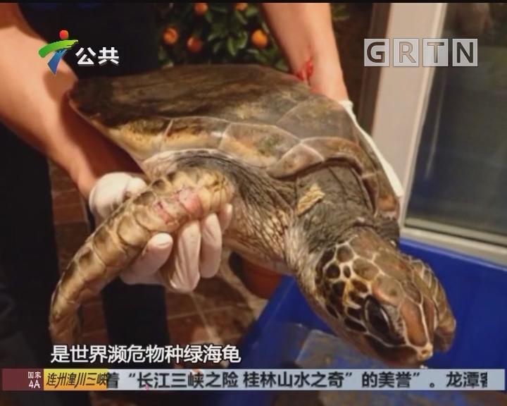 深圳:较场尾发现重伤绿海龟 热心人护送救助