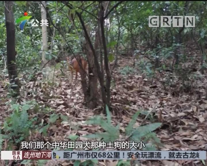 广州:白云山又见黄猄 专家提醒游客勿惊扰