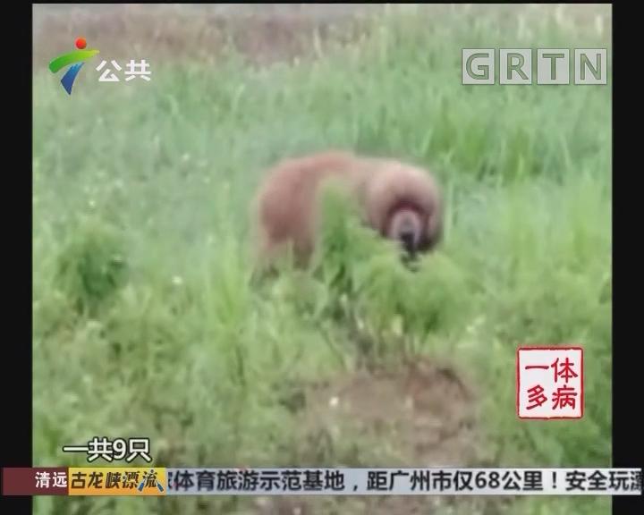 惠州:村中惊现藏獒 数量有约十只