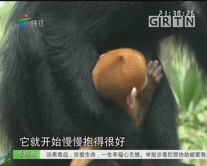 广东:世界首例珍稀黑叶猴龙凤胎出生
