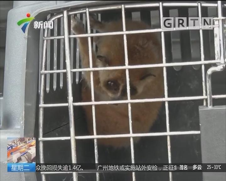 广州:小区内惊现一级国宝蜂猴 疑为违法饲养