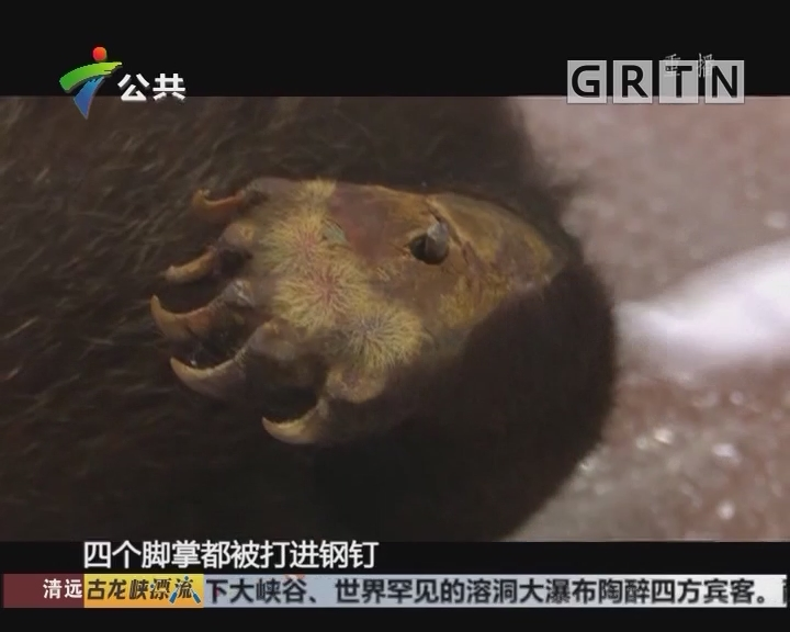 深圳:濒危小黑熊被制成标本 男子走私标本被查